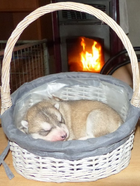 de la Perle Siberienne - Chiot disponible  - Siberian Husky