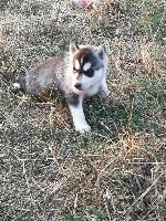 de la Perle Siberienne - Siberian Husky - Portée née le 01/07/2018