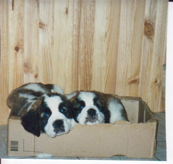 photo elevage des cinq epis eleveur de chiens chien du saint bernard. Black Bedroom Furniture Sets. Home Design Ideas