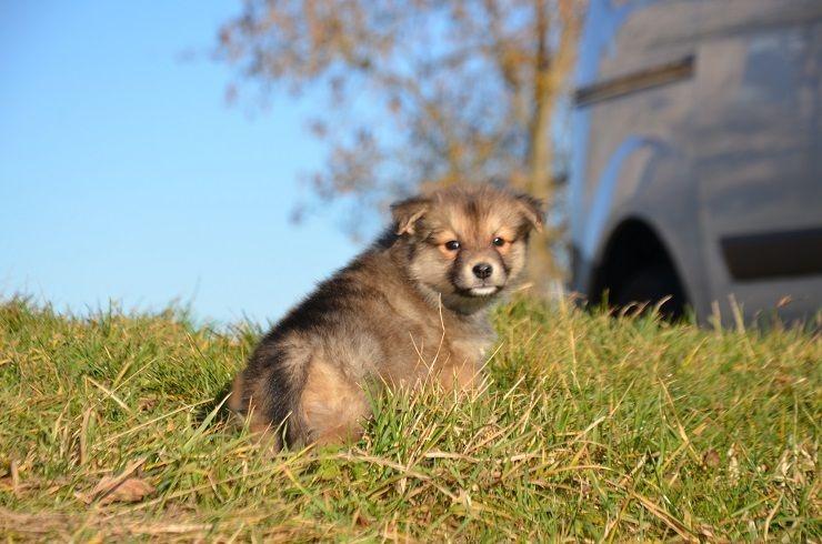 chiot chien finnois de laponie femelle 2 femelle disponible en auvergne 43 loire haute. Black Bedroom Furniture Sets. Home Design Ideas