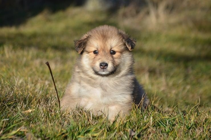 chiot chien finnois de laponie femelle 1 femelle disponible en auvergne 43 loire haute. Black Bedroom Furniture Sets. Home Design Ideas