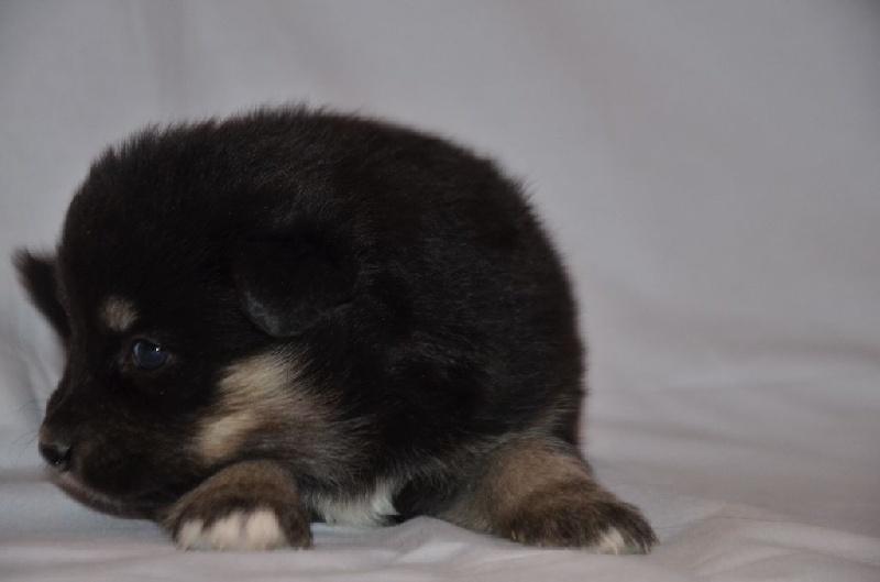 chiot chien finnois de laponie chiot n 5 femelle disponible en auvergne rhone alpes 43. Black Bedroom Furniture Sets. Home Design Ideas