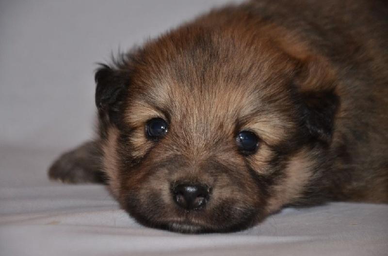 chiot chien finnois de laponie chiot n 4 m le disponible en auvergne rhone alpes 43 loire. Black Bedroom Furniture Sets. Home Design Ideas