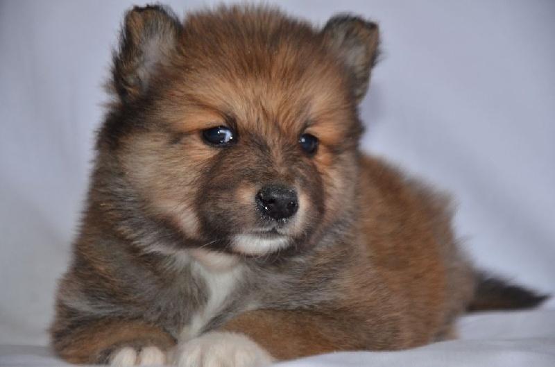 chiot chien finnois de laponie femelle n 1 femelle disponible en auvergne rhone alpes 43. Black Bedroom Furniture Sets. Home Design Ideas