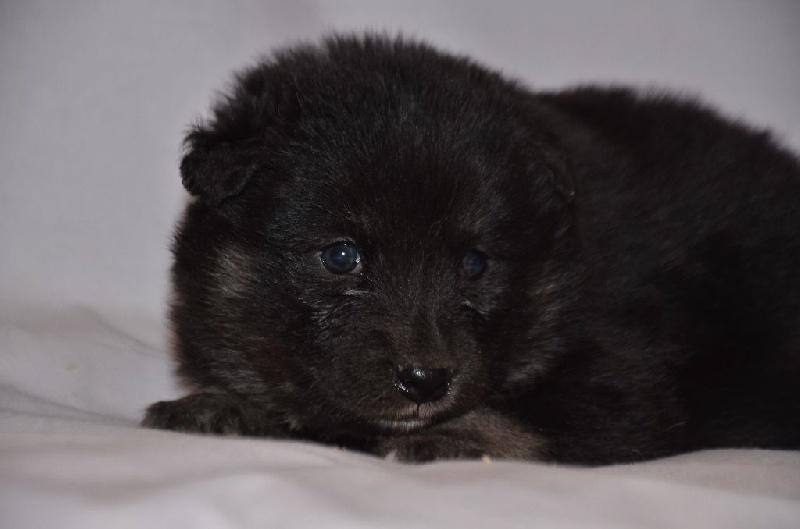 chiot chien finnois de laponie chiot n 6 femelle disponible en auvergne rhone alpes 43. Black Bedroom Furniture Sets. Home Design Ideas