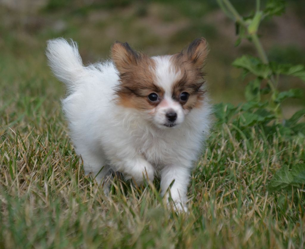 Opal Aussie - Chiot disponible  - Epagneul nain Continental (Papillon)