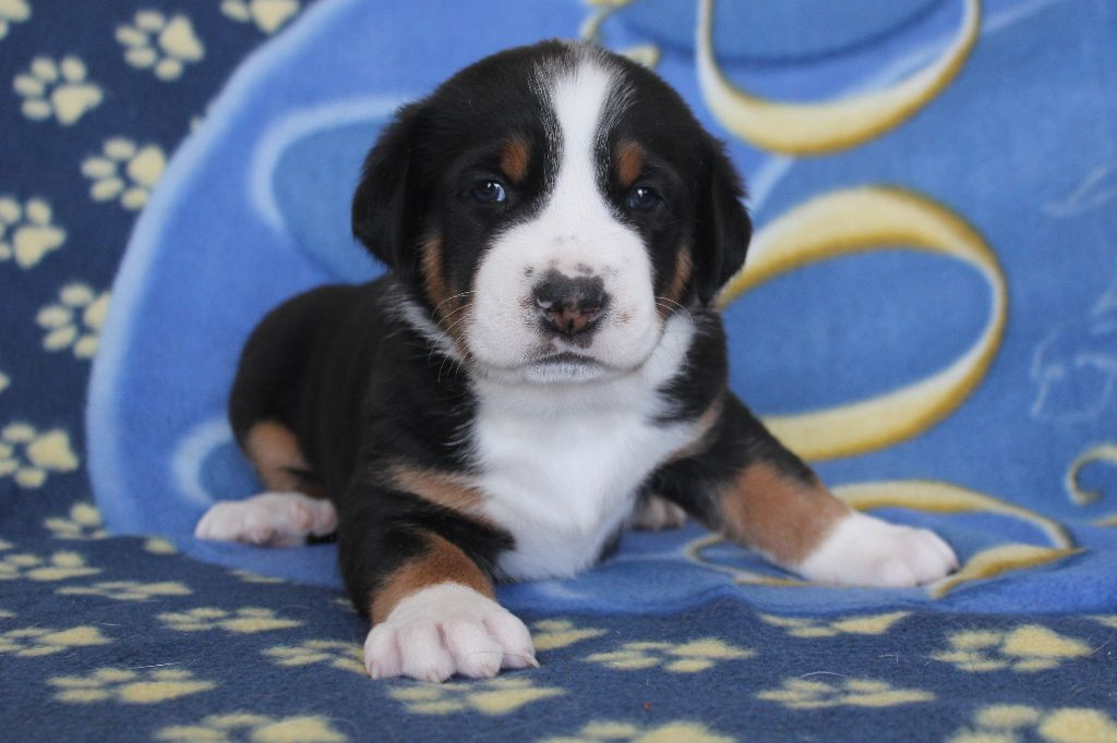 Tamidelis - Chiot disponible  - Grand bouvier suisse