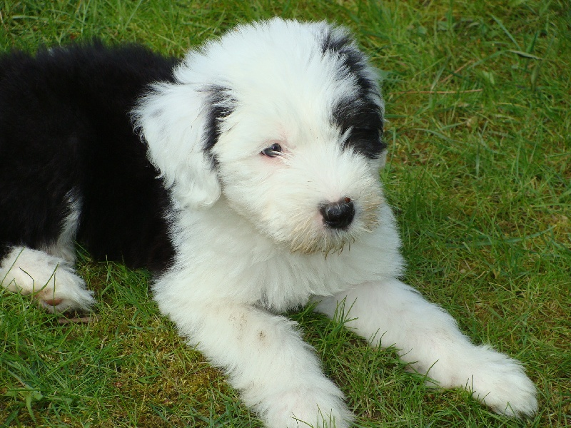 Chiot - Elevage From clear spring - eleveur de chiens Bobtail