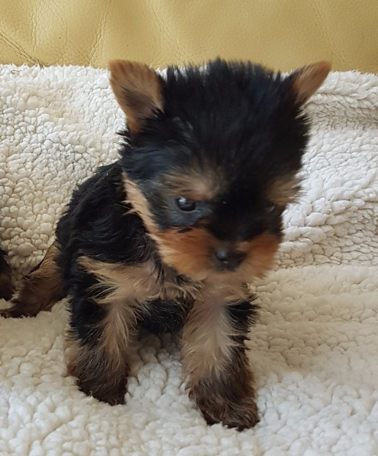 du clos Mayerland - Chiot disponible  - Yorkshire Terrier