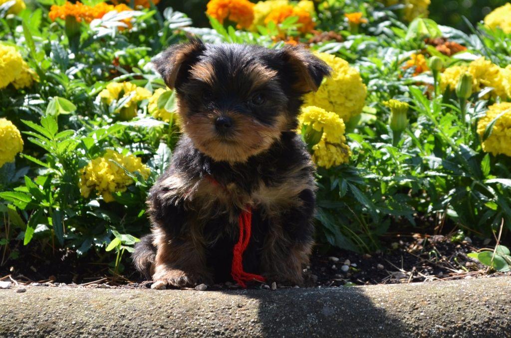 des Mirages d'Azur - Chiot disponible  - Yorkshire Terrier