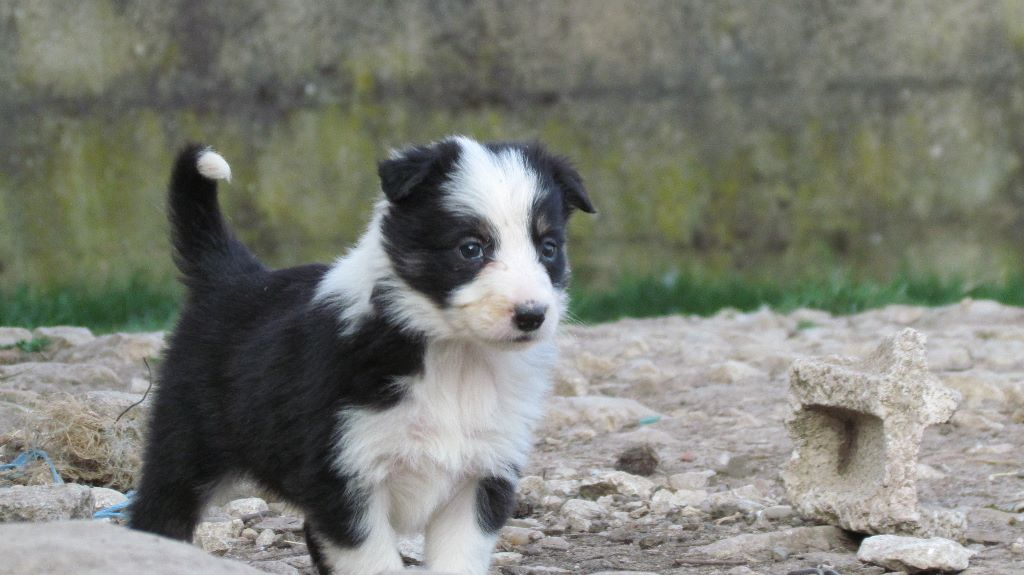 des Culmines - Chiot disponible  - Border Collie