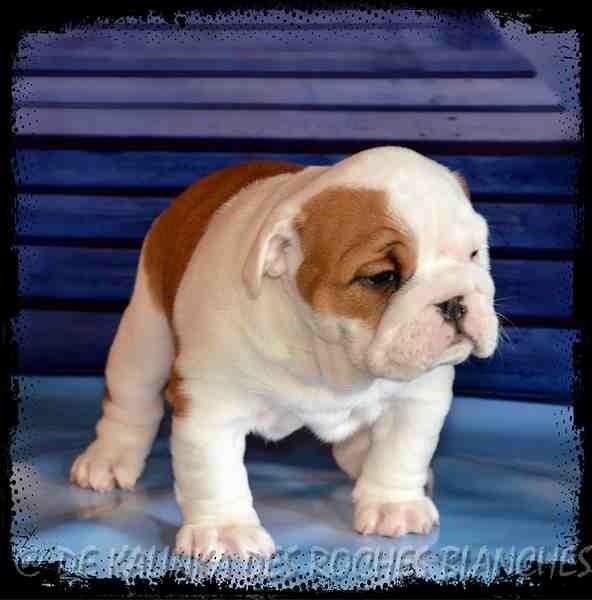 De kalinka des roches blanches - Chiot disponible  - Bulldog Anglais