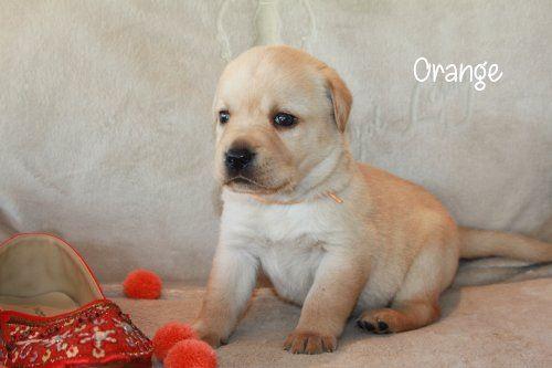 Oregon - Labrador Retriever