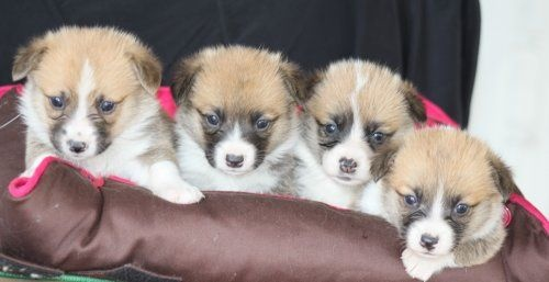 Des bories de yakoubia - Chiot disponible  - Welsh Corgi Pembroke