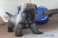 Cairn Terrier - Magnifiques chiots Cairn Terrier LOF - Des bories de yakoubia