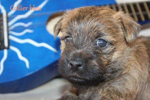 Des bories de yakoubia - Chiot disponible  - Cairn Terrier