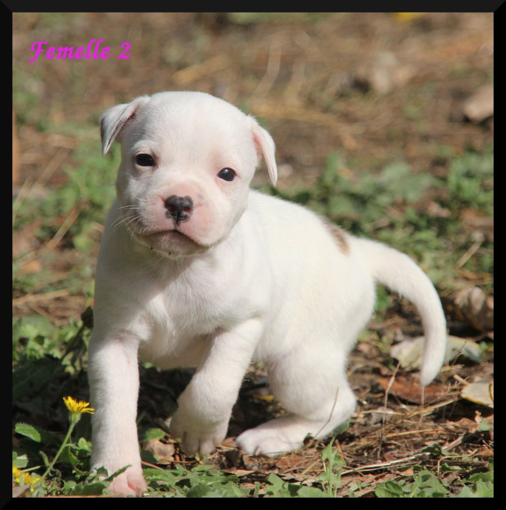 Oogie Boogie - Chiot disponible  - Staffordshire Bull Terrier