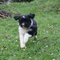 de la Lande Sempau - Chiot disponible  - Terrier tibetain