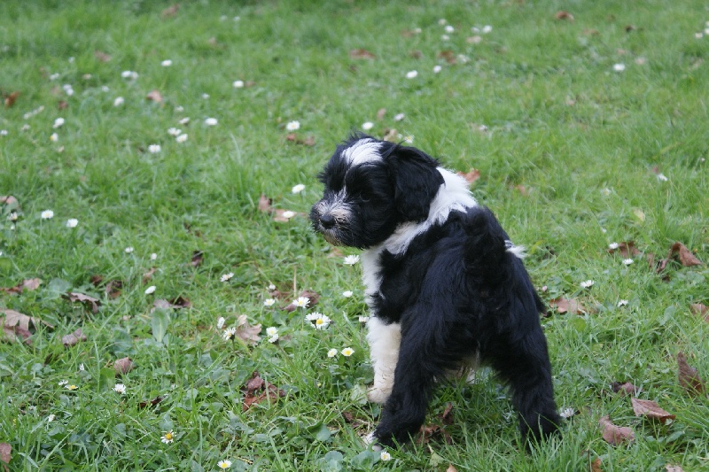 de la Lande Sempau - Chiot disponible  - Terrier tibetain