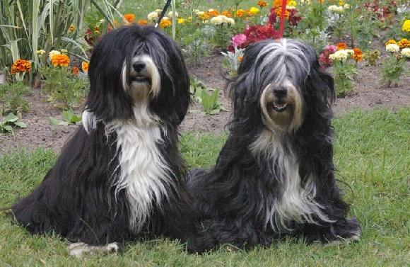Populaire Accueil - Elevage de la Lande Sempau - eleveur de chiens Terrier  BY42