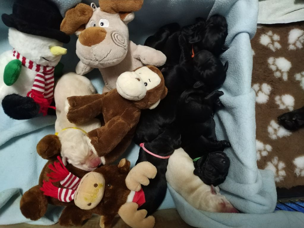 Hunting Friend - Labrador Retriever - Portée née le 28/12/2019