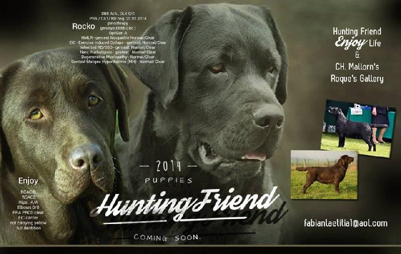 chiot Labrador Retriever Hunting Friend