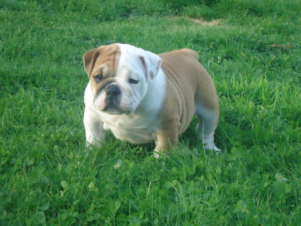 du Chien Beauté - Chiot disponible  - Bulldog Anglais