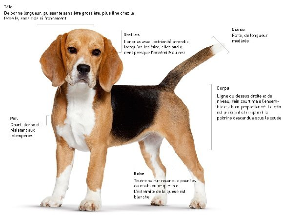 Accueil elevage de roz navalen eleveur de chiens beagle - Chien beagle adulte ...