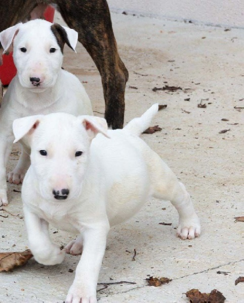 of Bull's city - Chiot disponible  - Bull Terrier