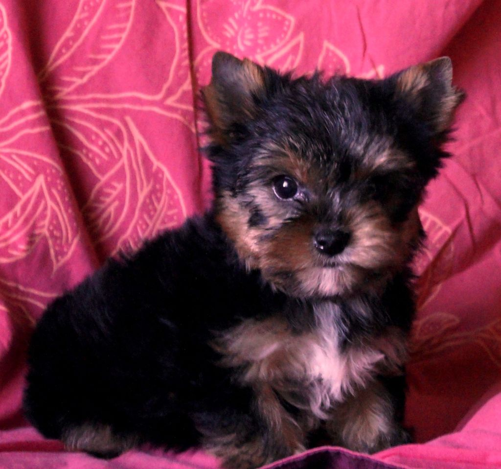 OTHELLO - Yorkshire Terrier