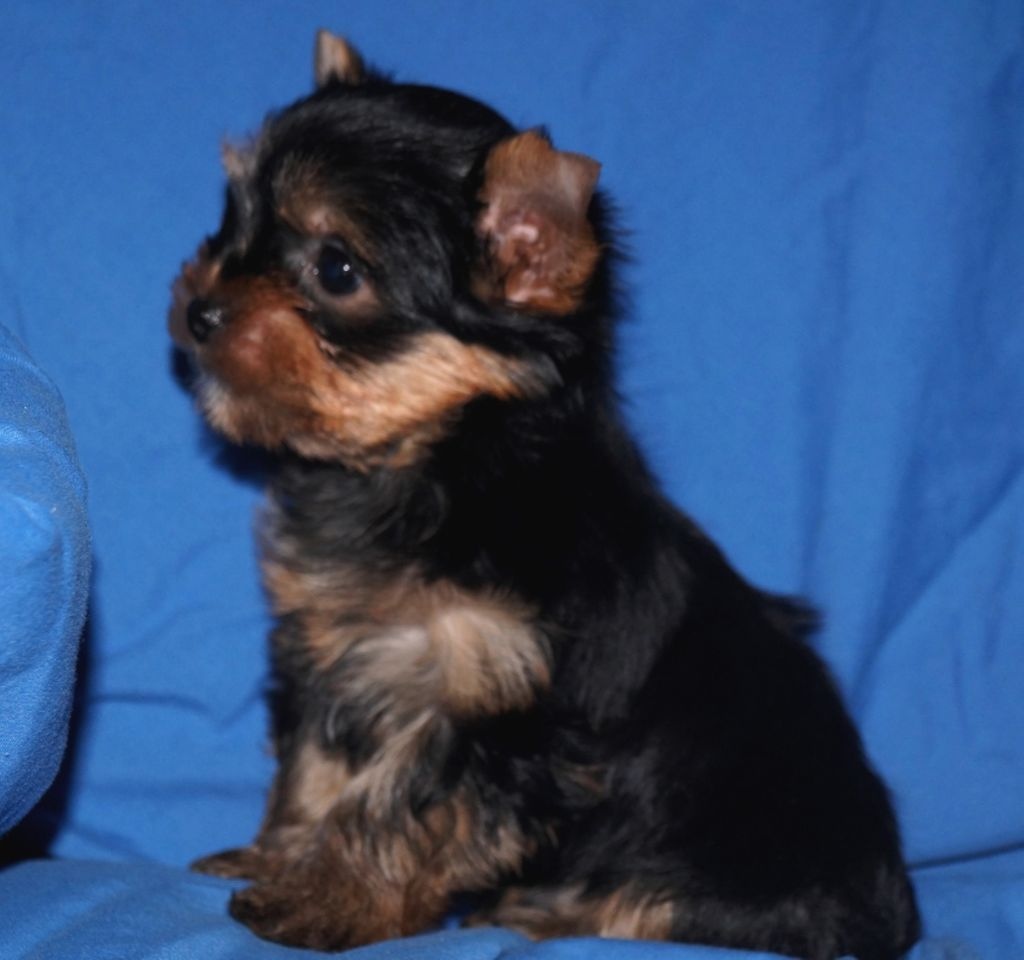 OLLY - Yorkshire Terrier