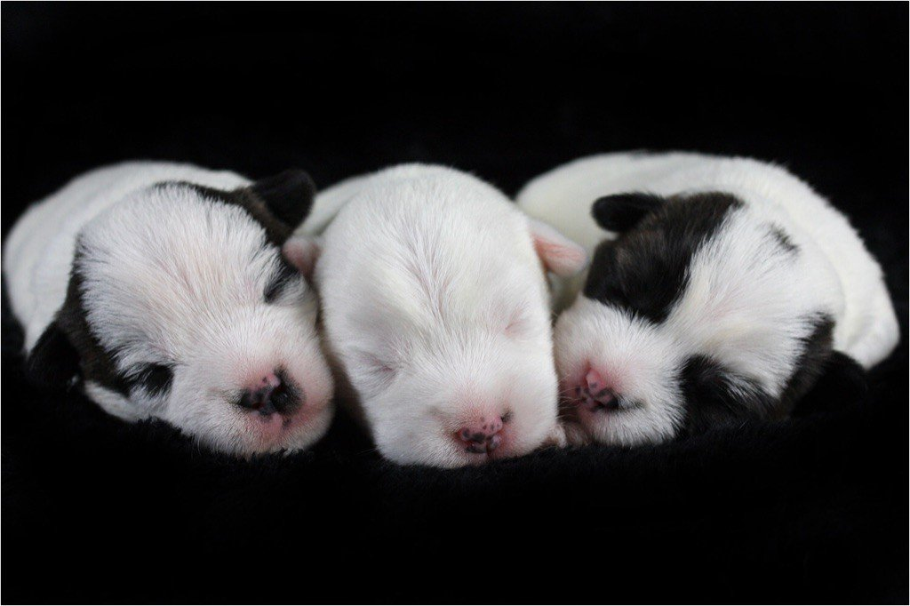 des very important Parson - Parson Russell Terrier - Portée née le 21/11/2020