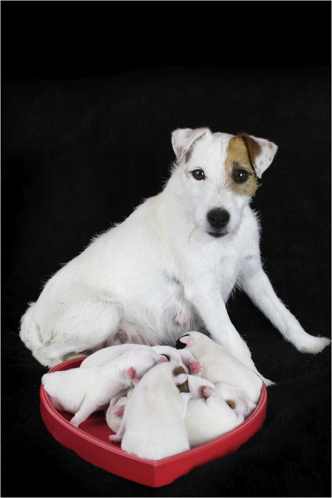 chiot Parson Russell Terrier des very important Parson