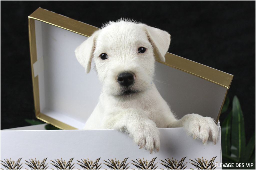 des very important Parson - Chiot disponible  - Parson Russell Terrier