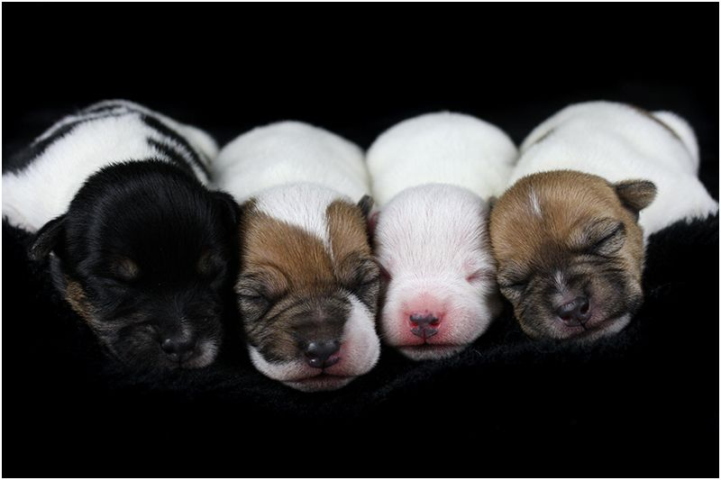 chiot Parson Russell Terrier des very important Parson