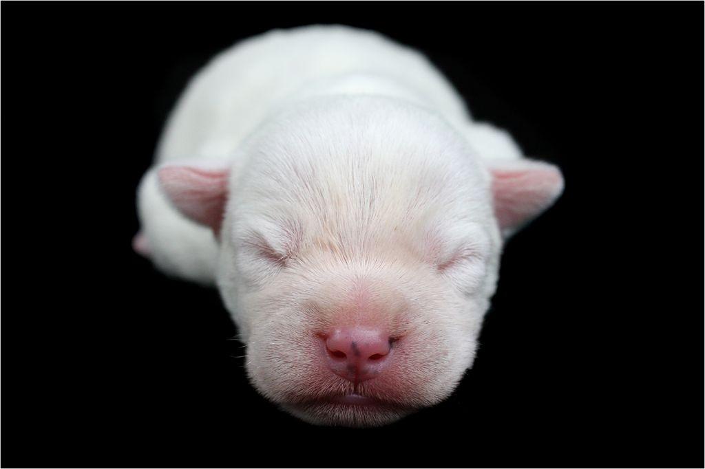 des very important Parson - Chiot disponible  - Parson Russell Terrier