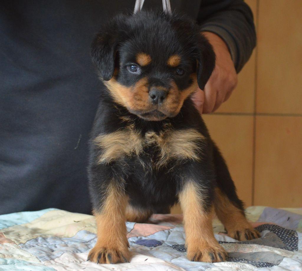 du temple d'adranos - Chiot disponible  - Rottweiler