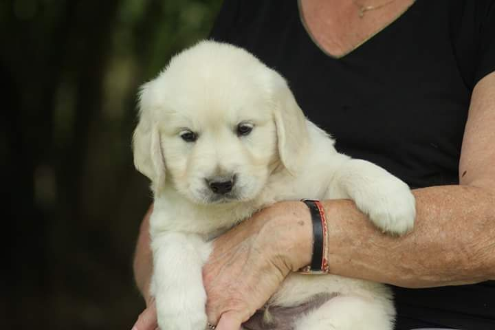 MR BLEU FONCE - Golden Retriever