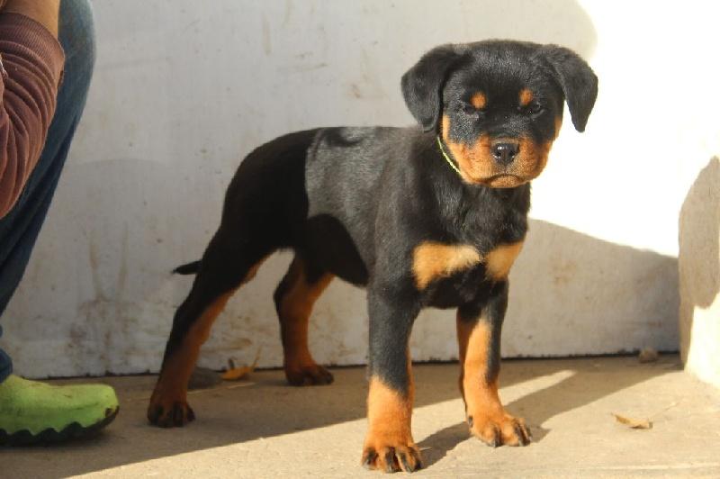 de la licorne noire - Chiot disponible  - Rottweiler