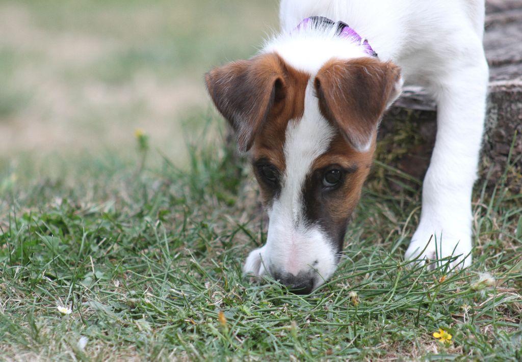 Oups des Bouquinvilles - Fox Terrier Poil lisse