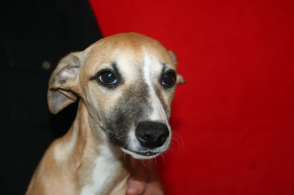 POSY - Whippet