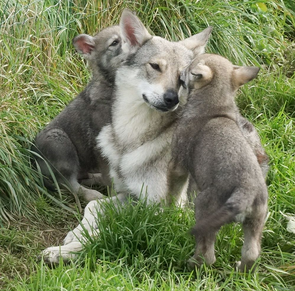 chiot Chien-loup de Saarloos Canens Africae