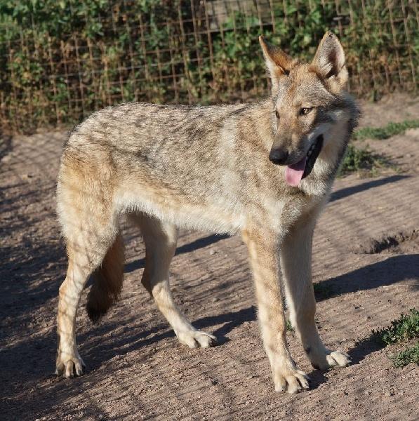 Canens Africae - Chiot disponible  - Chien-loup de Saarloos