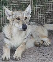 Femelle gris de loup (1)