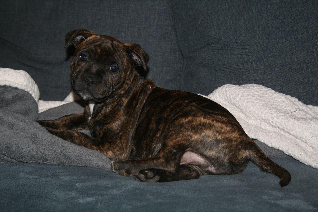 Des tempêtes du pays breton - Chiot disponible  - Staffordshire Bull Terrier
