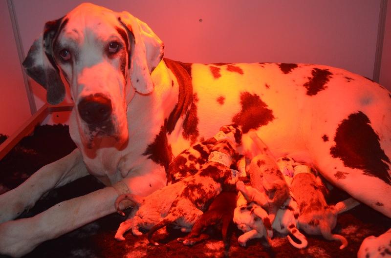 du domaine de l'ostrevent - Dogue allemand - Portée née le 05/02/2015