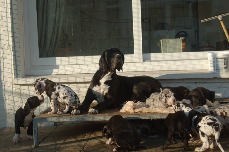 du domaine de l'ostrevent - Dogue allemand - Portée née le 09/10/2011