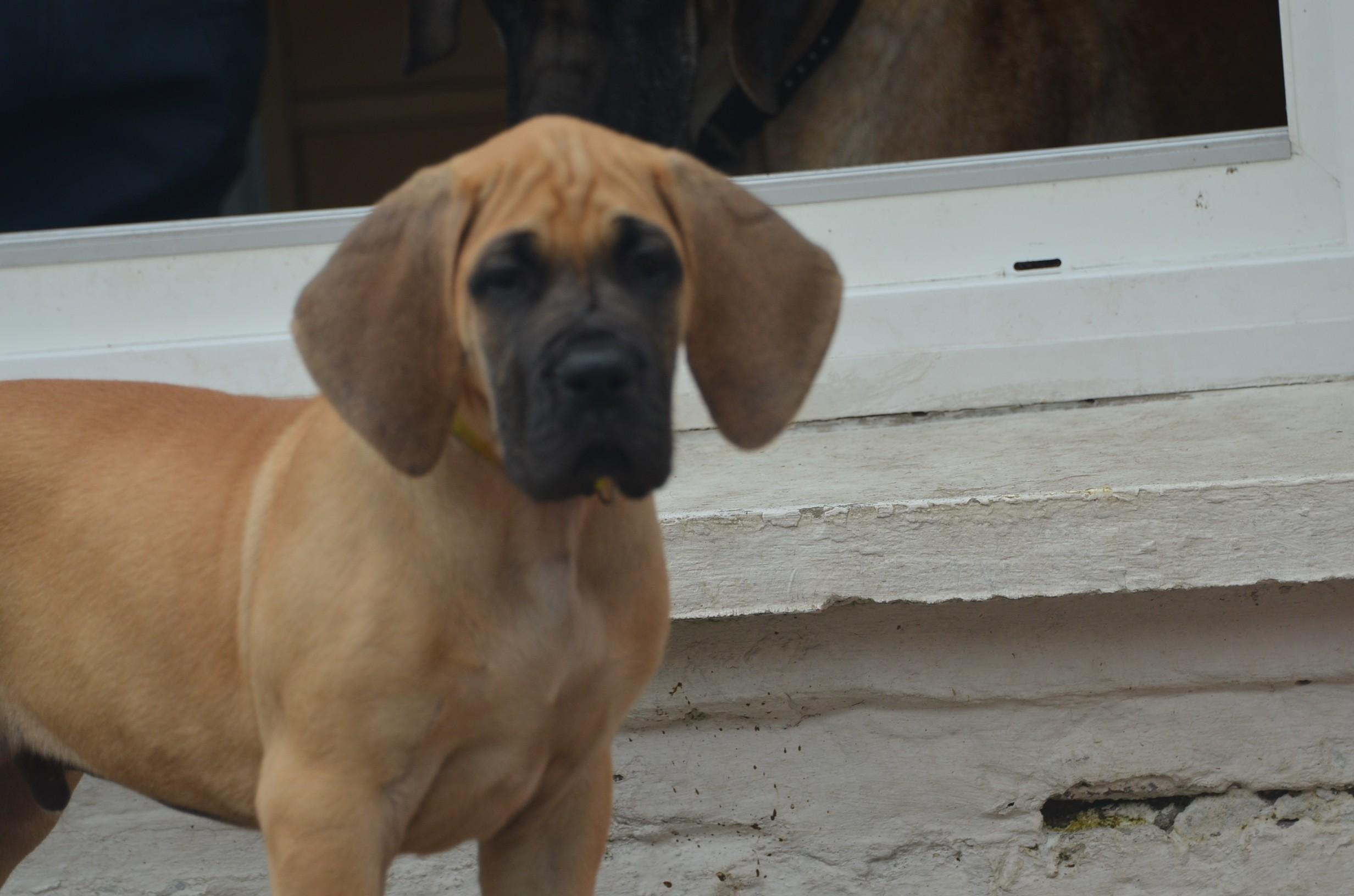du domaine de l'ostrevent - Chiot disponible  - Dogue allemand