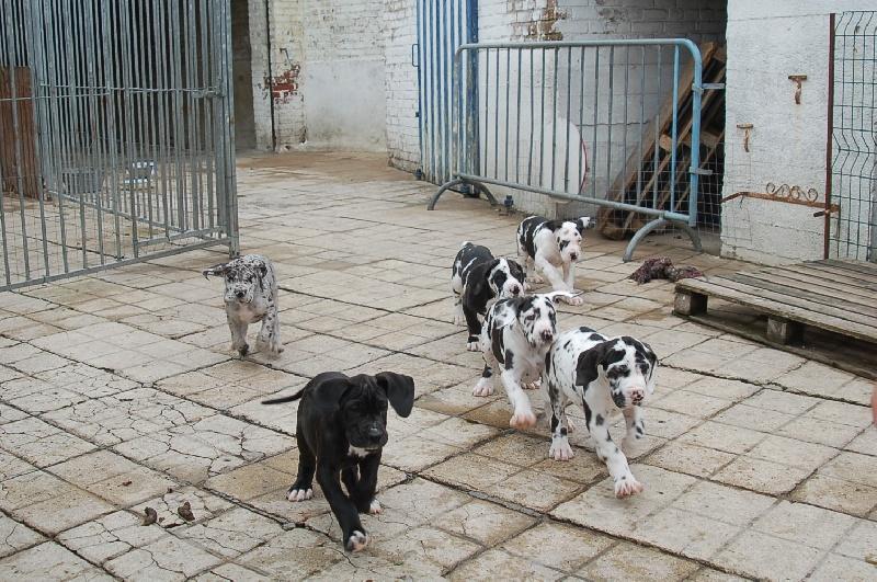 du domaine de l'ostrevent - Dogue allemand - Portée née le 27/08/2009