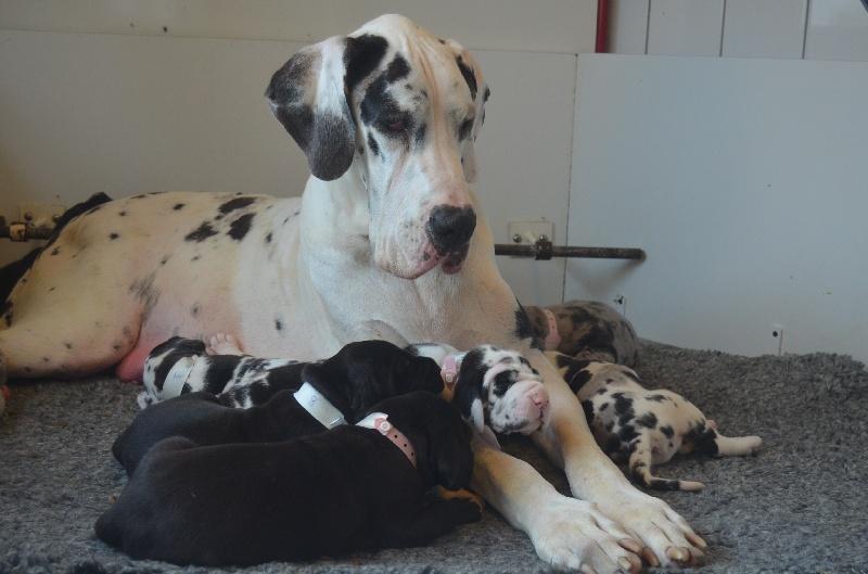 du domaine de l'ostrevent - Dogue allemand - Portée née le 24/08/2013